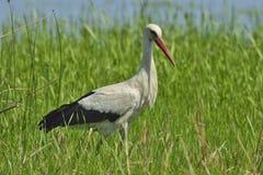 Stork (ciconiaciconia) Royaltyfria Foton