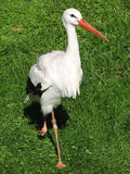 Stork (Ciconiidae). A stork waiting patiently for its next delivery job stock photography