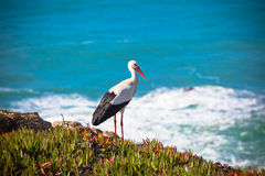 Stork on a Cliff at Western Coast of Portugal Royalty Free Stock Images