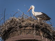 Stork-close Royalty Free Stock Photos