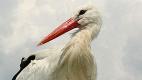 Stork close up shot, orange beak, white fur on wind. Stock footage stock video