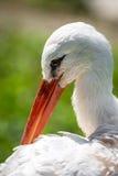 Stork in closeup Stock Image