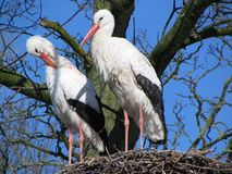 Stork couple #2. A stork couple attending to their nest Royalty Free Stock Image
