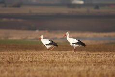 Stork couple. A stork couple walking on a field Stock Images