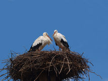 Stork couple in a nest. Symbol of family happiness Royalty Free Stock Photography