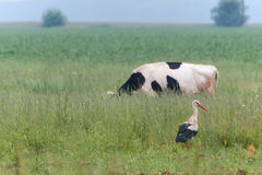 Stork and cow in the meadow in summer. Lone stork and a grazing cow on a summer meadow royalty free stock image