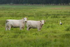 Stork and cows on a meadow Stock Images