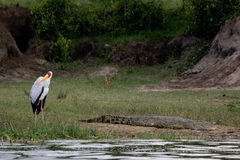 Stork and the crocodile. A stork keeping a watchful eye on a nearby crocodile along the Kazinga Channel Uganda royalty free stock photos