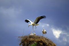 Free Stork Dance Royalty Free Stock Image - 43092826