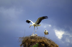 Stork dance. Stork landing its nest,wings outstretched to protect his family.July 11 th,2014.Bulgaria Royalty Free Stock Image