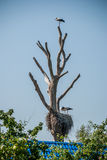Stork on a dry trea Royalty Free Stock Photography