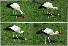 Stork eating Royalty Free Stock Photography