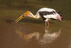 Stork Eating Frog Royalty Free Stock Photos