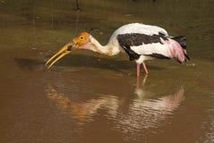 Stork Eating Frog. Stork eating a frog. Photo taken at Yala National Park, Sri Lanka Royalty Free Stock Photos