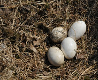 Stork eggs (Disambiguation) Stock Photos