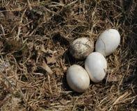 Stork eggs (Disambiguation) stock photos