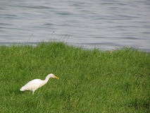 Stork or egret in green background Royalty Free Stock Photos