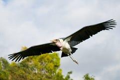 stork för crumeniferusleptoptilosmarabou Arkivfoton