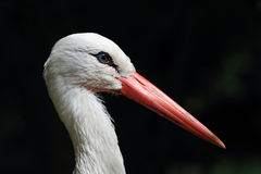 A Stork Stock Photography
