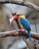 Stork-fakturerad Kingfisher fotografering för bildbyråer