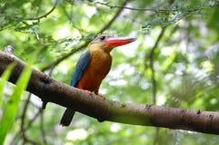Stork-fakturerad KingfisherPelargopsis capensis Arkivfoton