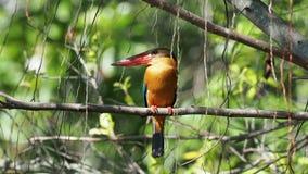 Stork-fakturerad kungsfiskarePelargopsis capensis - sydostlig trädkungsfiskare som så fördelas i den tropiska indiska subkontinen lager videofilmer