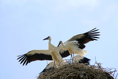 Stork family Royalty Free Stock Photography