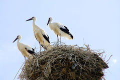 Stork family Royalty Free Stock Images
