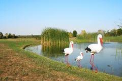 Stork family Stock Images