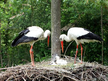 Stork Family Stock Photos
