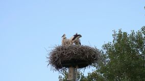 Stork family, stork babies, 4k, 50fps stock video