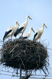 Stork family at nest Royalty Free Stock Images