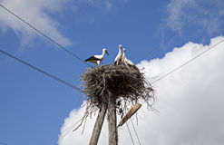 Stork family in the nest Royalty Free Stock Image