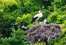 The stork family Stock Photography