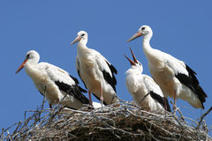Stork family on the nest. Stork nest on the family against the backdrop of blue sky Stock Photo