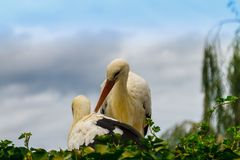 Stork family in the nest royalty free stock photography