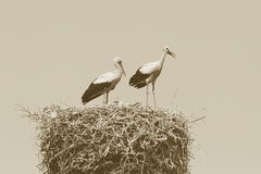 Stork family on the nest Royalty Free Stock Image