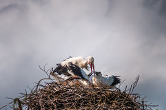 Stork family in the nest with dark sky in the background.  stock photos