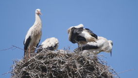 Stork family on a nest pole. Two adult storks with their young children on a nest pole stock footage