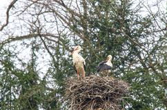 Stork family in nest Stock Photography