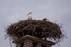 Stork family in storks nest Stock Images