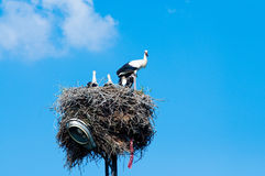 Stork family in straw nest Stock Image