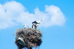 Stork family in straw nest Royalty Free Stock Photography