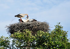 A stork feeding the chicks. An adult stork feeding the chicks Stock Images