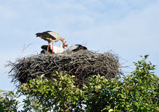 A stork feeding the chicks. An adult stork feeding the chicks Stock Photography