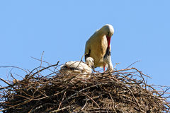 Stork feeding Stock Photography