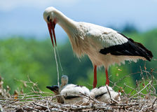 Stork is feeding his kids Royalty Free Stock Photography
