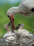 Stork is feeding his kids Royalty Free Stock Photos