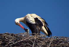 Stork feeds baby in the nest Royalty Free Stock Photo