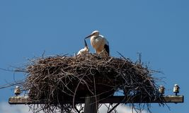 The stork feeds the chick in the nest on an abandoned electric pole against the blue sky Royalty Free Stock Photos